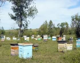 Болезни пчел: как лечить аскосфероз фото