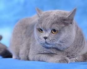Британская кошка: стандарты породы фото
