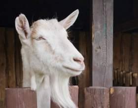 Чего ждать от года козы фото