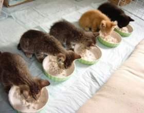 Чем кормить котят: сухой корм или еда со стола? фото