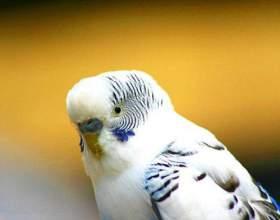 Как отучить волнистого попугая кусаться фото
