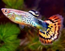 Чем лечить аквариумных гуппи от плавниковой гнили фото