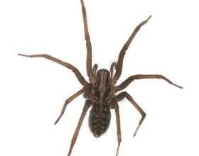 Чем питается домовой паук фото
