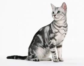 Как содержать котенка-британца фото