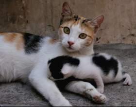 Что делать, если кошка сама не может родить фото