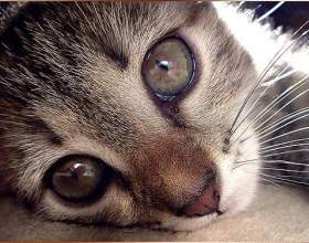 Что делать, если слезятся глаза у котенка фото