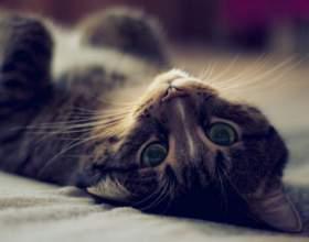 Что делать, когда у кошки течка фото