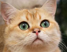 Что лучше: стерилизовать кошку или давать ей таблетки фото