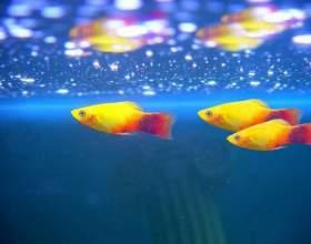 Что нужно для рыбок гуппи фото