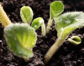 Что такое однодольные и двудольные растения фото