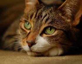 Гепатит у кошек: симптомы, лечение фото
