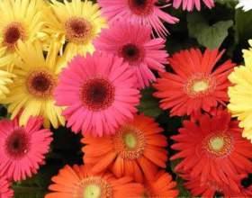 Гордая красавица гербера: выращивание из семян фото