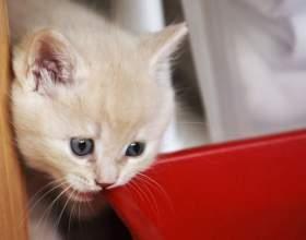 Имена кошек: как можно назвать британскую кошку фото