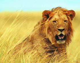 К чему снится лев фото