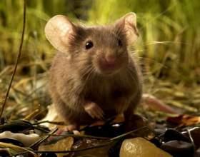 К чему снится мышь фото