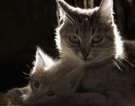 Как часто кошка может приносить приплод фото