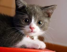 Как давать смекту котенку фото