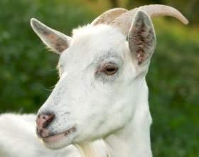 Как держать козу в доме фото