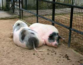 Как содержать свиней фото