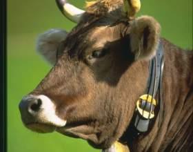 Как кормить быков фото