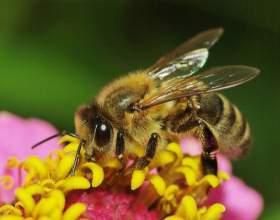 Как избавиться от аллергии на пчел фото