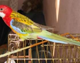 Как измерить рост попугая фото