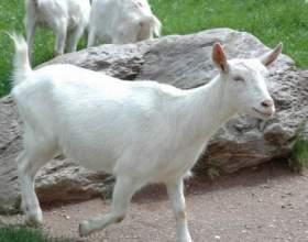 Как кормить беременных коз фото