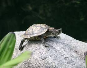 Как кормить красноухих черепах фото