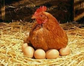 Как кормить куриц-несушек в домашних условиях фото