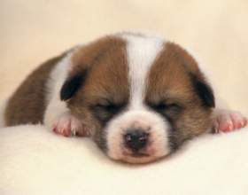 Как кормить маленьких щенков фото