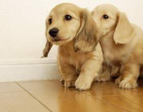 Как назвать щенка спаниеля фото