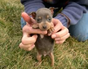 Как кормить щенка карликового пинчера фото