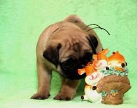 Как кормить щенка мопса фото