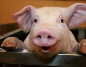 Как кормить свинью фото