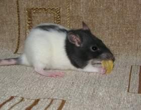 Как купать декоративных крыс фото