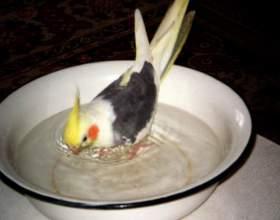 Как купать попугайчиков фото