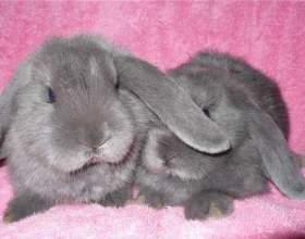 Как отличить кролика от шиншиллы фото