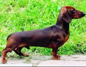 Как назвать собаку таксу фото