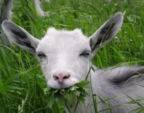 Как купить козу фото