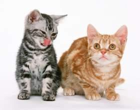 Как купить котенка-британца фото