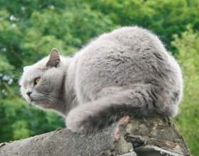 Как отличить британскую кошку фото