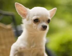 Как назвать щенка чихуахуа фото