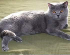Как лечить чумку у кошек фото