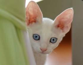 Как лечить инфекцию половой системы у кошек фото