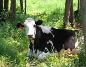 Как назвать корову фото