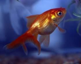 Как лечить манку у рыбок фото