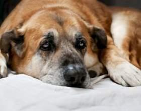 Как лечить насморк у собак фото