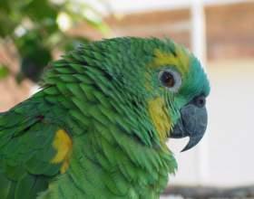 Простуда у попугая: как лечить фото