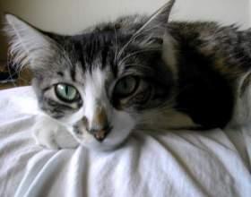 Как лечить раны у кота фото