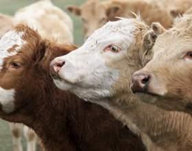 Как лечить растройство желудка у коровы фото